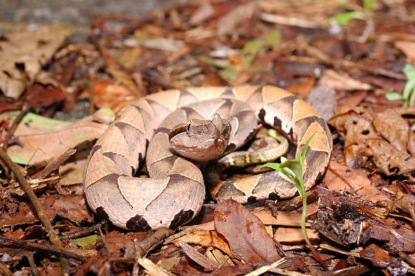 百步蛇(Deinagkistrodon acutus)的幼蛇