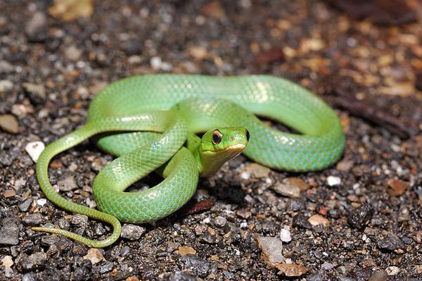 青蛇(Cyclophiops major)