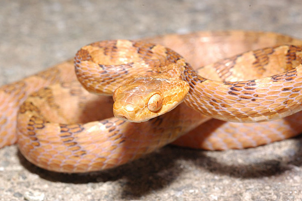 大頭蛇(Boiga kraepelini)褐色型