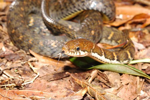 未知種類腹鏈蛇(Amphiesma.sp)