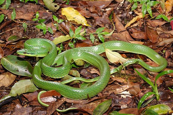 灰腹綠錦蛇(Elaphe frenata)