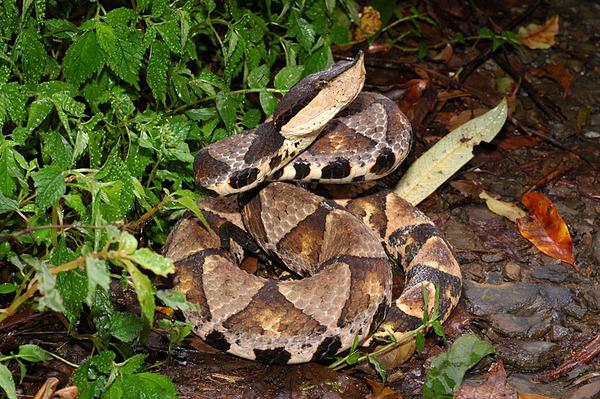 台灣最有霸氣的蛇