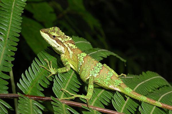 牧氏攀蜥(Japalura makii)