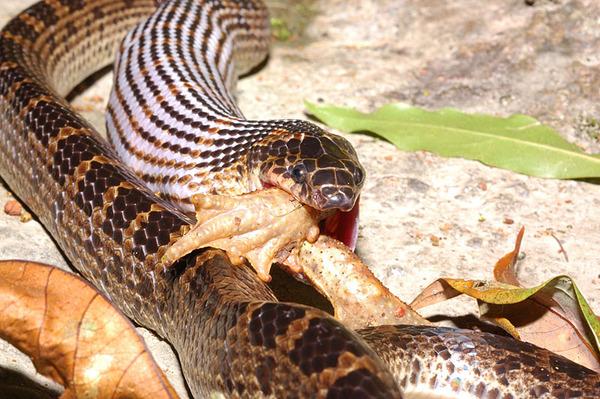 紅斑蛇(Dinodon rufozonatum)吞食盤古蟾蜍(Bufo bankorensis)
