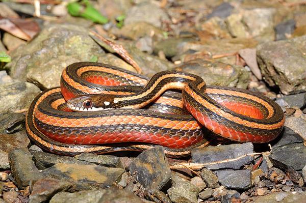 美麗的金絲蛇媽媽