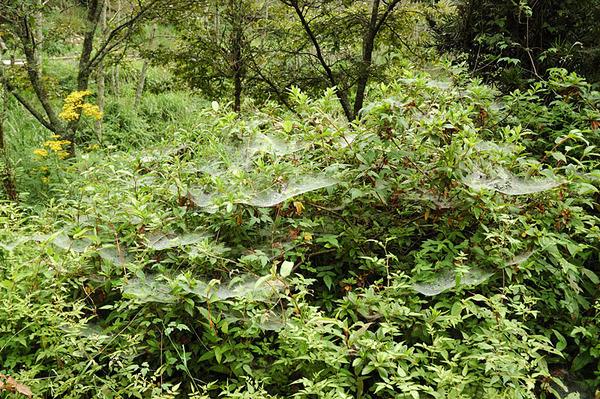 很多漏斗狀的蜘蛛網