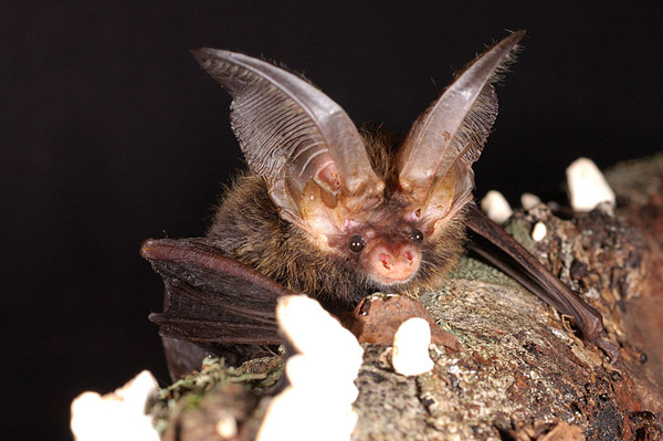相當可愛滑稽的一種蝙蝠