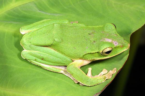 頭頂受傷的翡翠樹蛙