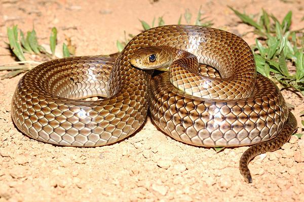 細紋南蛇(Ptyas korros)