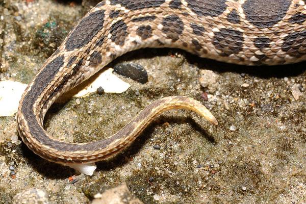 尾巴末端帶有黃白色