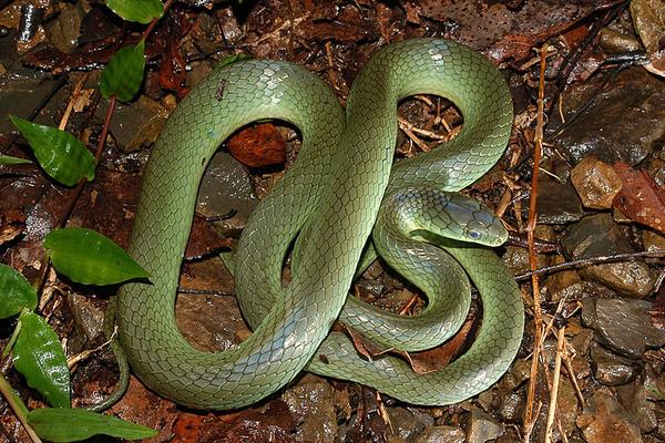 即將蛻皮的青蛇(Cyclophiops major)