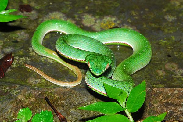 背上有白點的赤尾青竹絲(Trimeresurus stejnegeri stejnegeri)