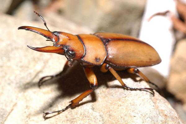 兩點鋸鍬形蟲雄蟲