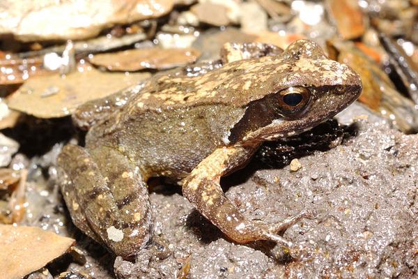 多齒赤蛙(Rana multidenticulata)