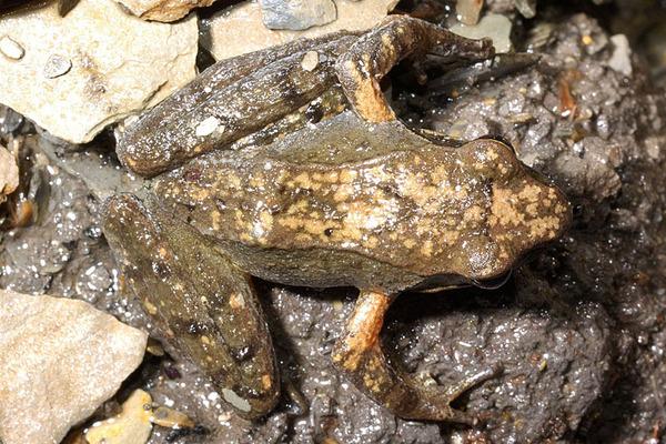 多齒赤蛙的背部