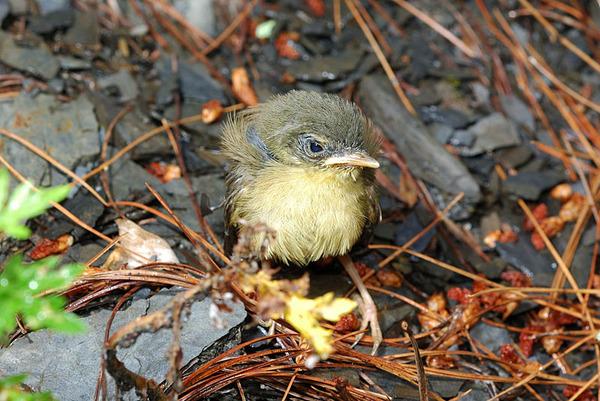 不知名的落單幼鳥