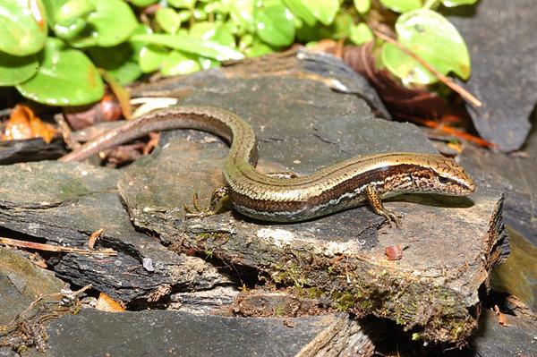台灣蜓蜥(Sphenomorphus taiwanensis)