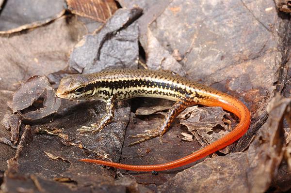 股鱗蜓蜥(Sphenomorphus incognitus)的幼蜥