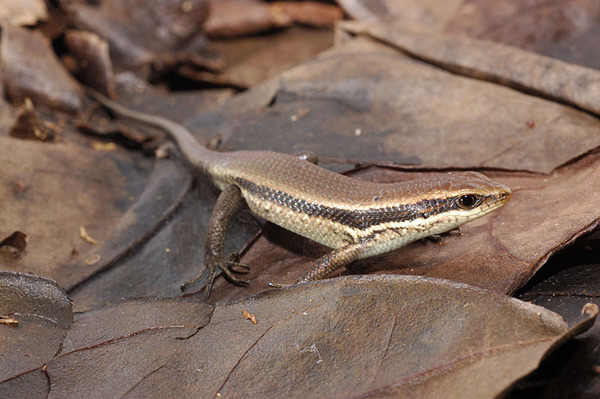 多稜南蜥的幼蜥