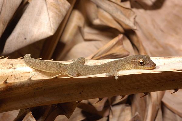 雅美鱗趾虎(Lepidodactylus yami)