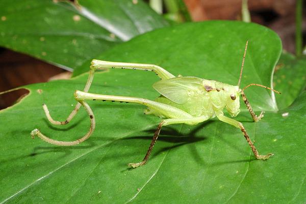 奇怪的一種直翅目昆蟲