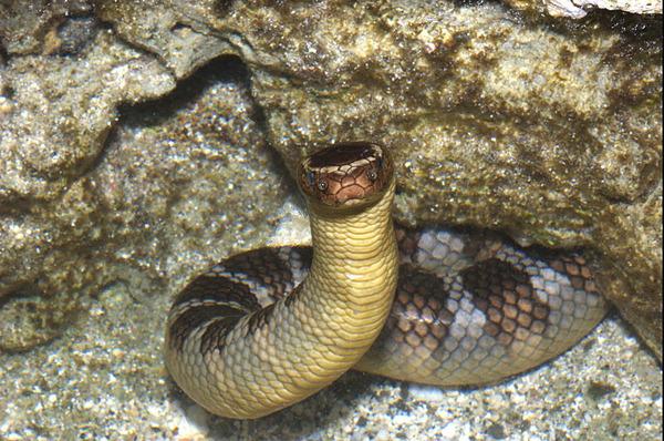 闊帶青斑海蛇(Laticauda semifasciata)