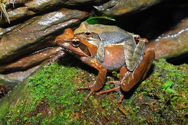 抱接中的梭德氏赤蛙(Rana sauteri)