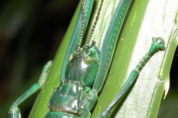 大頭竹節蟲的頭