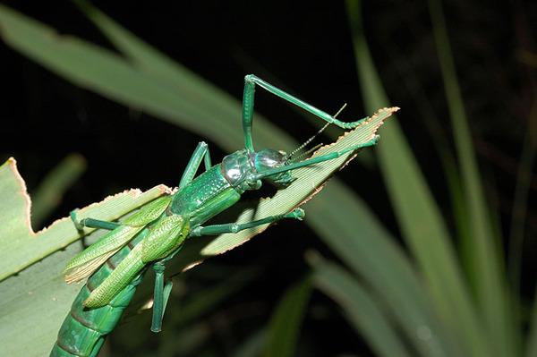 啃食林投中的大頭竹節蟲