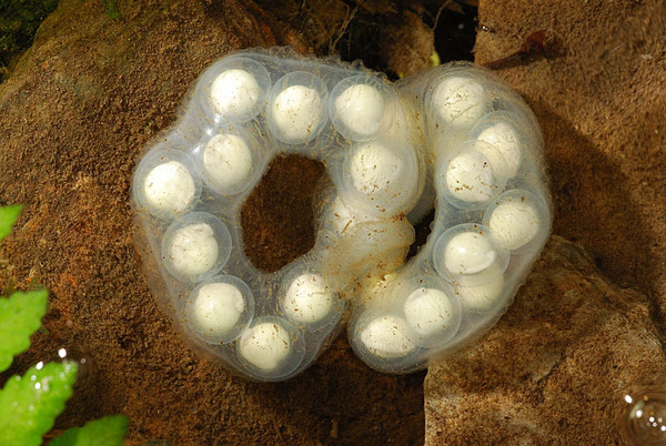 觀霧山椒魚的卵莢