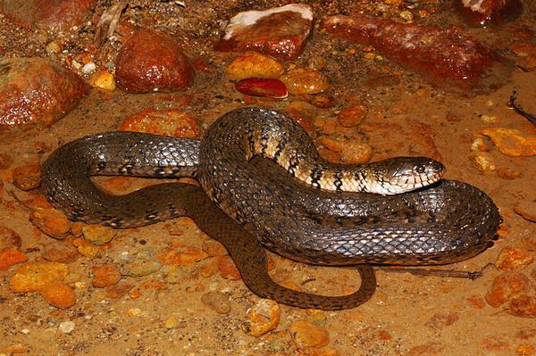 另一條比較大的赤腹游蛇