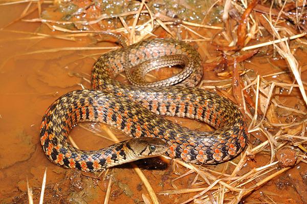 草花蛇(Xenochrophis piscator)紅色型
