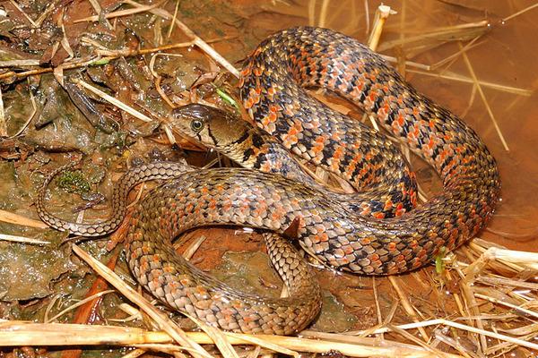 草花蛇...