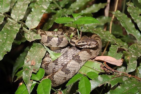 灰色型大頭蛇(Boiga kraepelini)