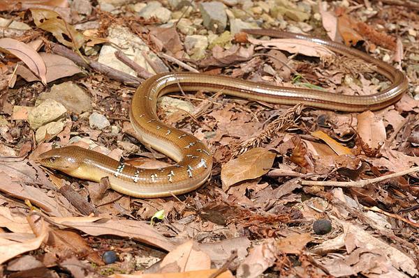 另一條完整的蛇蜥