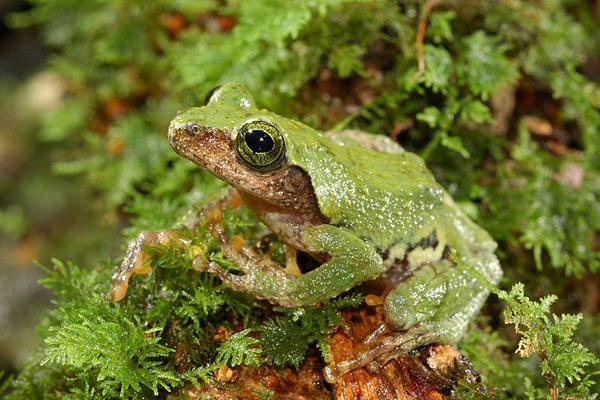 艾氏樹蛙(Chirixalus eiffingeri)還是碧眼樹蛙?
