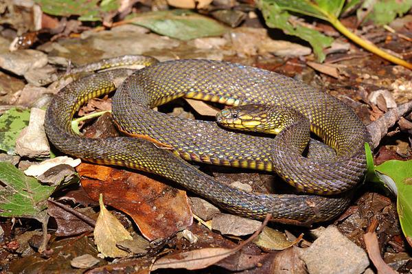標蛇(Achalinus niger)
