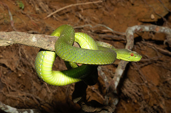 赤尾青竹絲(Trimeresurus stejnegeri stejnegeri)