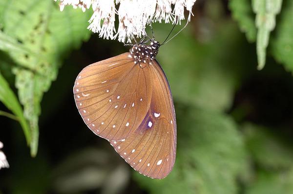 斯氏紫斑蝶