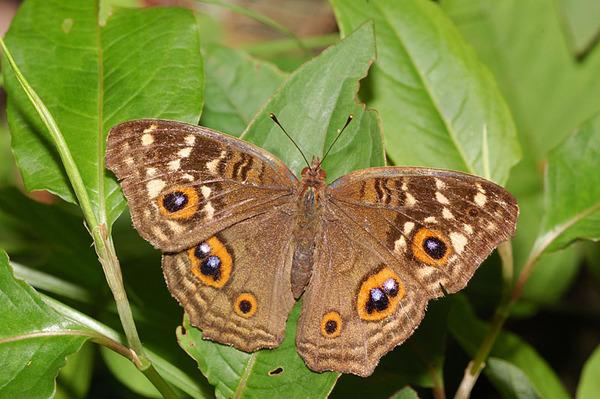 眼紋擬蛺蝶