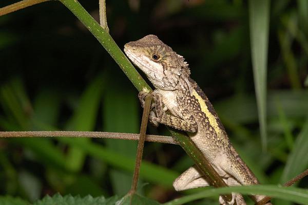 休息中的斯文豪氏攀蜥(Japalura swinhonis)
