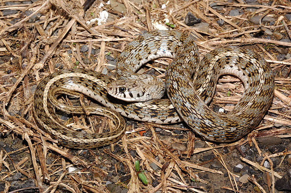 花浪蛇(Amphiesma stolatum)