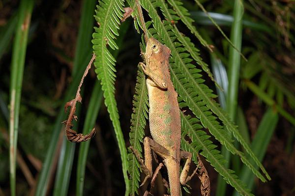 睡覺中的斯文豪氏攀蜥(Japalura swinhonis)