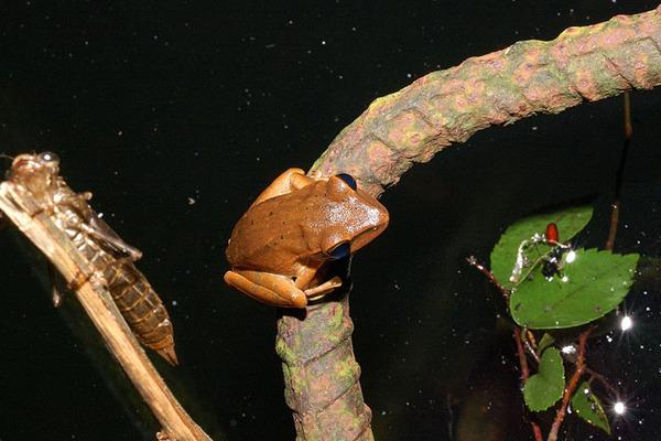 白頷樹蛙(Polypedates megacephalus)