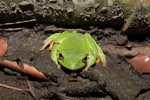 莫氏樹蛙(Rhacophorus moltrechti)