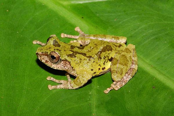 艾氏樹蛙(Chirixalus eiffingeri)