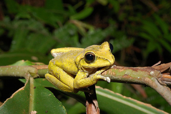 褐樹蛙(Buergeria robusta)