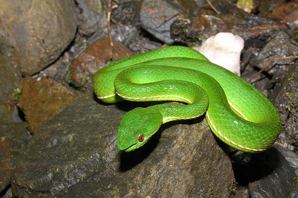 在溪邊石頭上等著吃褐樹蛙的赤尾青竹絲
