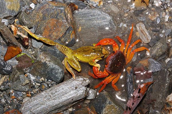 拉氏清溪蟹正在捕食褐樹蛙