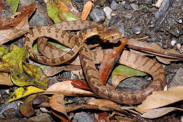大頭蛇(Boiga kraepelini)